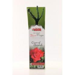 Роза Королева Бермуда чайно-гибр.  (саж. ЗКС)  коробка Сербия