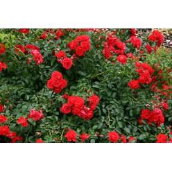 Роза Сорренто почвопокровная C3
