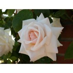 Роза Сван лэйк плетистая C3