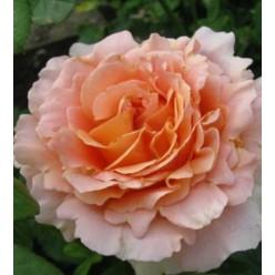Роза Лорд Байрон плетистая C3
