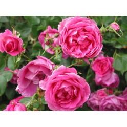 Роза Пинк Клауд плетистая C3