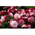 Саженцы роз в Минске с доставкой по Беларуси