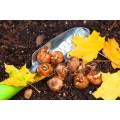 Луковицы цветов осенней посадки купить в Минске и по Беларуси - недорого