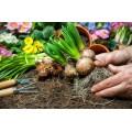 Луковицы и клубни цветов в Минске - недорого