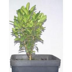 Самшит вечнозеленый P9 10-25 см