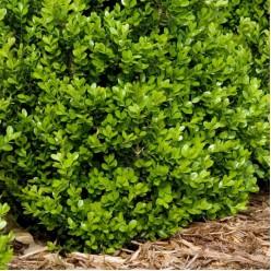 Самшит вечнозеленый С5 30-50см