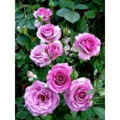 Роза Violette Parfumee грандифлора (саж.ЗКС) пакет Польша