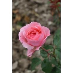 Роза Queen Elizabeth грандифлора (саж. ЗКС) пакет Польша