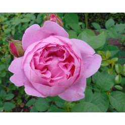 Роза Mary Rose английская (саж. ЗКС) пакет Польша
