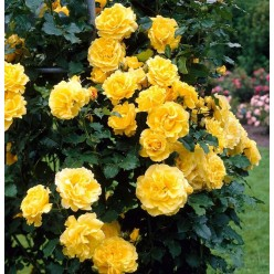 Роза Golden Showers клаймбер (саж. ЗКС) пакет Польша