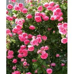 Роза Pink Cloud клаймбер (саж. ЗКС) пакет Польша