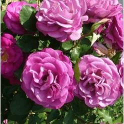 Роза Wiolette Parfumee Climb плетистая (саж. ЗКС) пакет Польша