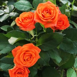 Роза Orange mini миниатюрная (саж. ЗКС) пакет Польша