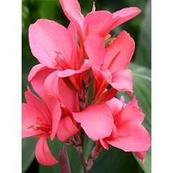 Канна Orchid горшок