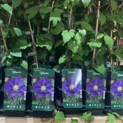 Клематис крупноцветковый Violet (саженец P9)