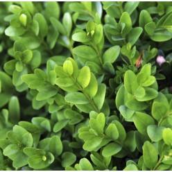 Самшит вечнозелёный С2 20-25 см