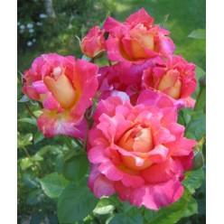 Роза Decor плетистая/шраб горшок С3