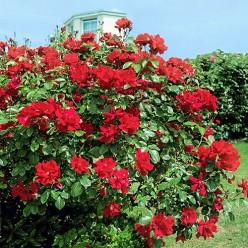 Роза Don Juan плетистая горшок С3