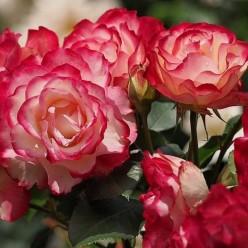 Роза Iubilej Princes de Monako флорибунда горшок С3