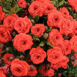 Роза Orange Jewel миниатюрная горшок С3