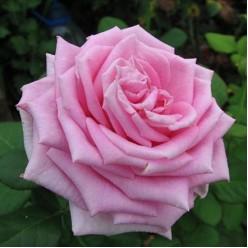 Роза Pink Aqva флорибунда горшок С3