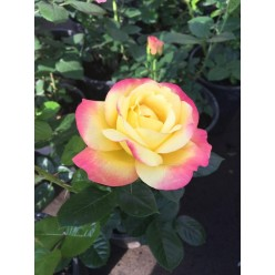Роза Pullman Orijent Express чайно-гибридная горшок С3