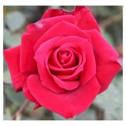 Роза Queen of Bermuda чайно-гибридная горшок С3