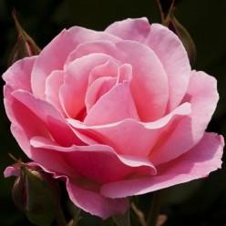 Роза Queen of England грандифлора/парковая горшок С3