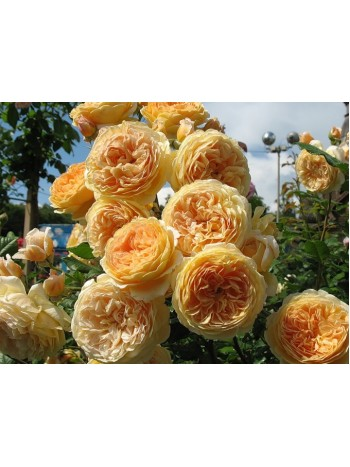 Роза Queen of Margarita чайно-гибридная горшок С3