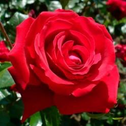 Роза Red Berlin чайно-гибридная горшок С3