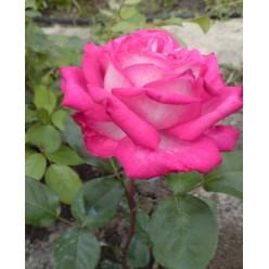 Роза Rose Gaujard чайно-гибридная горшок С3