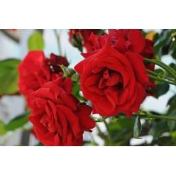 Роза Ulmer Minster парковая горшок С3