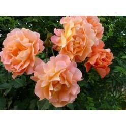Роза Westerland парковая/шраб горшок С3