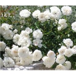 Роза White Jam миниатюрная горшок С3