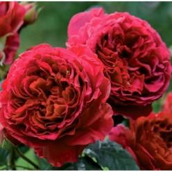 Роза Feuerland флорибунда C3