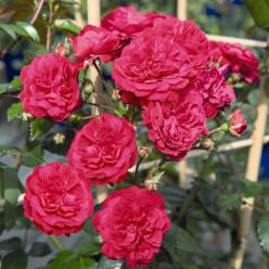 Роза Starlet Rose Lola плетистая C3