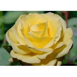 Роза Aveс Amour чайно-гибридная  С3
