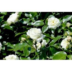 Роза Alabaster флорибунда C3