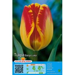 Тюльпан Banja Luka 5шт р.10/11 луковица 75001
