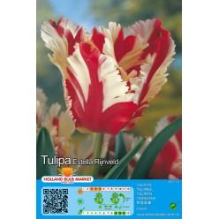 Тюльпан Estella Rijnveld 5шт р.11/12 луковица 75105